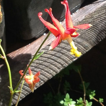 The columbine still blooming in September.
