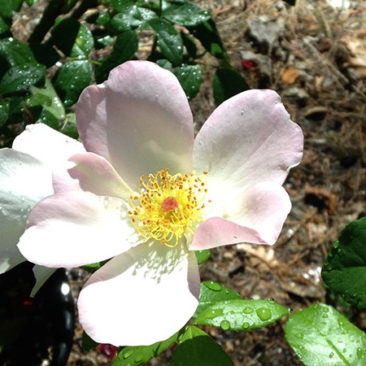 Sally Holmes rose, a lovely climber still blooming in October