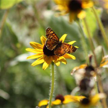 Many types of butterflies visit the front meadow.