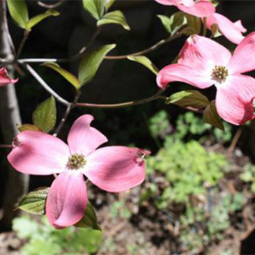 A pink dogwood takes center stage in May.